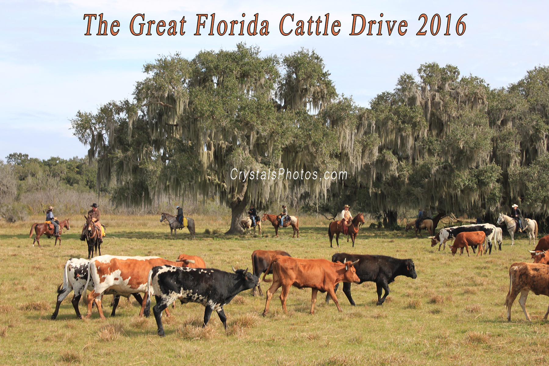 The Great Florida Cattle Drive 2016